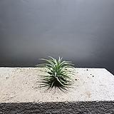 이오난사 중품 틸란드시아 수입식물 공룡꽃식물원 9|Tillandsia