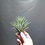 이오난사 대품 틸란드시아 수입식물 공룡꽃식물원 15|Tillandsia