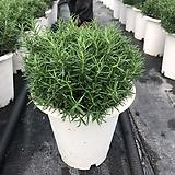 로즈마리허브(초특가세일)신상! Rosemary