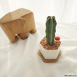 귀여운 미니 용신목 (원목받침대set) 다육식물|Myrtillocactus geometrizans Cons