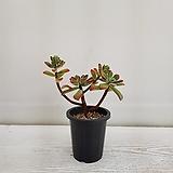 금황성/다육식물/공기정화식물/온누리 꽃농원 Echeveria pulvinata