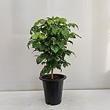 녹보수(신종)/공기정화식물/온누리 꽃농원 happy tree