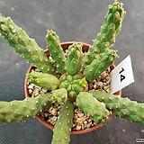 이너미스|Euphorbia inermis