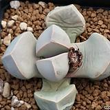 마옥 Lapidaria Margaretae