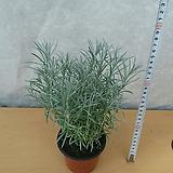 커리플랜트/허브/공기정화식물|Hub