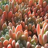 미야꼬오도리묵은 목대-합식머릿수25정도|Echeveria sp. MIYAKOODORI