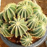 수박(마그니휘거스) / 국내재배 / Notocactus magnificus 