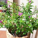 쿠페아 행잉바구니세트(현재 꽃이 핀상태로 묵은목대/튼튼해요)|