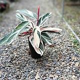 스트로만테멀티칼라 칼라데아 관엽식물 15|