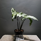 매직마블싱고니움 싱고니움 싱고늄 수입식물 공룡꽃식물원|
