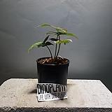 레드스팟싱고니움 싱고니움 싱고늄 수입식물 공룡꽃식물원|