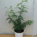 타마린드/저녁에  오므러들며 수면을취하는 식물|