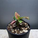 아글레오네마얀나마니 수입식물 아글레오네마 공룡꽃식물원 60|