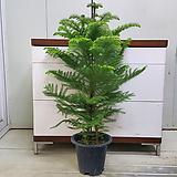 [진아플라워] 트리나무 아리오카리아 중형 270|