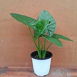 [진아플라워] 싱그러운 잎 알로카시아 050|Alocasia