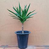 [진아플라워] 꼬맹이 유카나무 240|