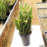 마블 금 #1 / 국내재배 / 묵은둥이 / Opuntia monacantha f. variegata 
