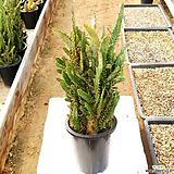 마블 금 #2 / 국내재배 / 묵은둥이 / 폭 18cm이상 /  Opuntia monacantha f. variegata 