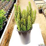 미니장군 / 국내재배 / Austrocylindropuntia subulata 