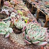 묵은치와와엔시스21|Eeveria chihuahuaensis
