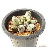 유럽천금장 / 국내재배 / Adromischus cooperi C.Adromischus cooperi