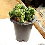 장군철화 / 국내재배 / 폭 20cm정도 / Austrocylindropuntia subulata f. cristata 
