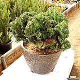 춘봉철화 / 국내재배 / Euphorbia lactea f. cristata 