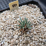 알스토니50|Avonia quinaria ssp Alstonii
