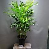 아레카야자 공기정화식물 관엽식물 공룡꽃식물원 10|