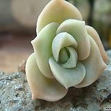 초미니-러블리로즈|Lovely Rose
