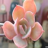 초미니-핑키|Echeveria cv Pinky