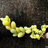 벽어연금16|Corpuscularia lehmanni