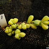 벽어연금11|Corpuscularia lehmanni