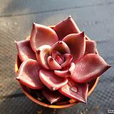 레드에보니15|Echeveria agavoides ebony red