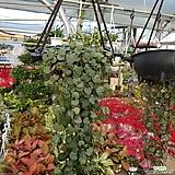 러브체인 대 (공중식물,걸이식물) 