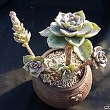 바이네시(오팔금) Graptopetalum bainesii f. variegata