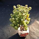 희성(분채배송) Crassula rupestris TOM THUMB