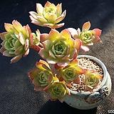 그린로즈 Sedeveria Green Rose