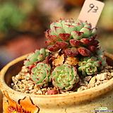 일본원종미니마93 Echeveria Minima