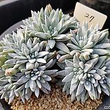 화이트그리니대품자연군생27|Dudleya White gnoma(White greenii / White sprite)