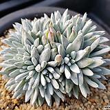화이트그리니대품자연군생117|Dudleya White gnoma(White greenii / White sprite)