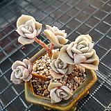 러블리로즈자연군생|Lovely Rose