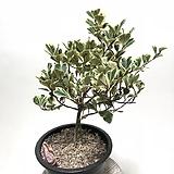 스윗하트 고무나무 실내식물 공기정화식물 반그늘식물|Ficus elastica