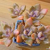 묵은목대 석연화금 자연군생|Pachyveria Pachyphytodies