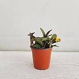 옐로우돌/카틀레아/공기정화식물/온누리 꽃농원 