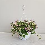카멜레온달개비/걸이식물/공기정화식물/온누리 꽃농원 