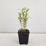 센트라데니아/공기정화식물/온누리 꽃농원 