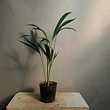 아레카야자 공기정화식물 관엽식물 공룡꽃식물원 15|