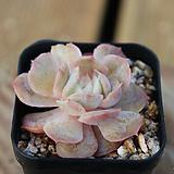 온슬로우금 148|Echeveria cv  Onslow