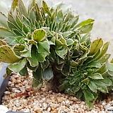 청법사철화 8412-1298|Aeonium arboreum